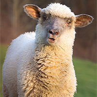 Sheep Antibodies vs. Coronavirus: How Sheep are helping battle the SARS-CoV-2 puzzle.