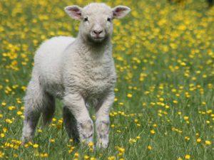 lamb spring 2016