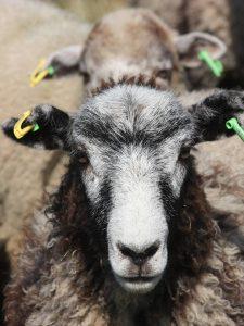 Lambs Tags