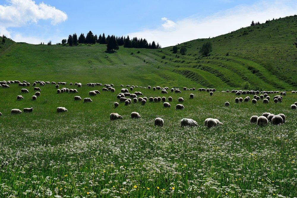 sheep antibodies